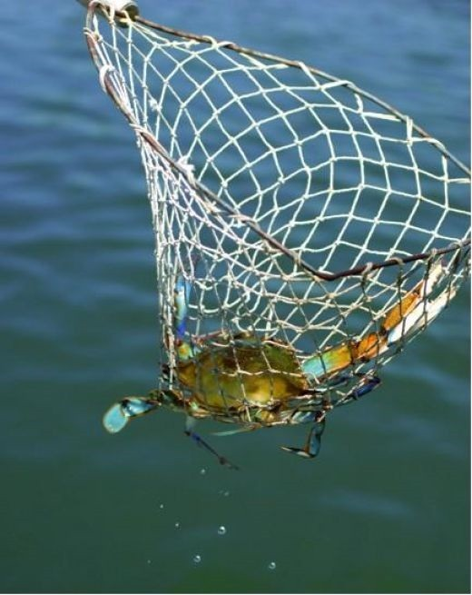 The Net is the Safest way to Catch any type of Crab!