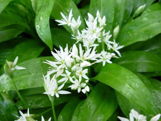 Wild Garlic is identified easily by the scent of garlic released when the leaves are crushed. White flowers.