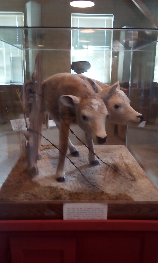 Two-Headed Calf, Oho County Historical Museum