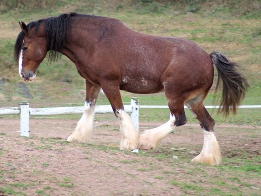 Clydesdale horse By Bonnie U Gruenberg CC BY-SA 2.0
