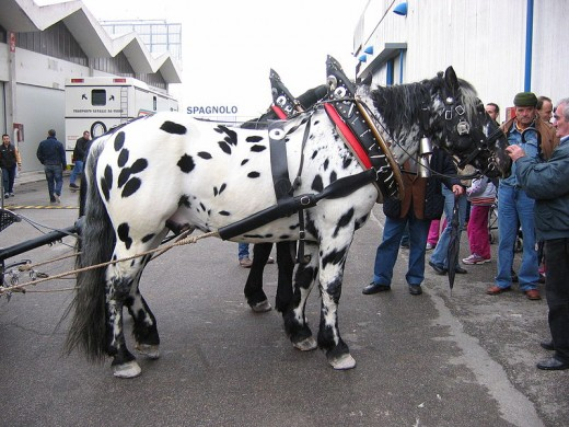 Spotted Noriker Horse By Unknown Public Domain