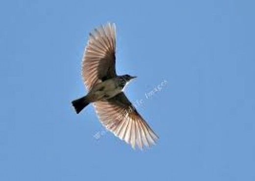 Lark in Flight