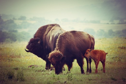 White settlers killed many times more bison than did any buffalo jump slaughter of the Native Americans and nearly made the American Bison extinct. Today, bison herds are growing in size again, especially in the West and Southwest.