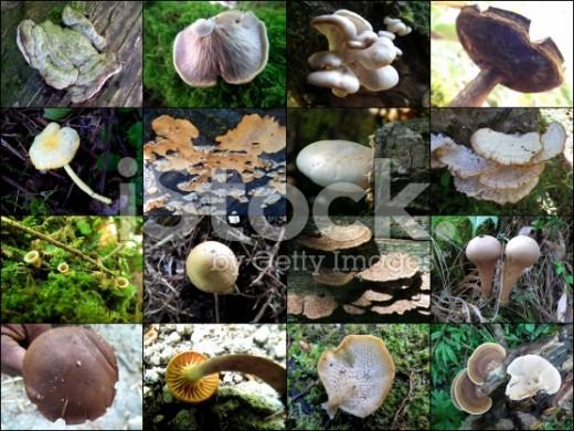 Mushroom fruit bodies Collage