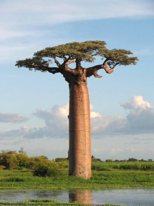 Grandidier's Baobab, picture taken near Morondava, Madagascar.