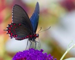 Tips for Better Butterfly Photos