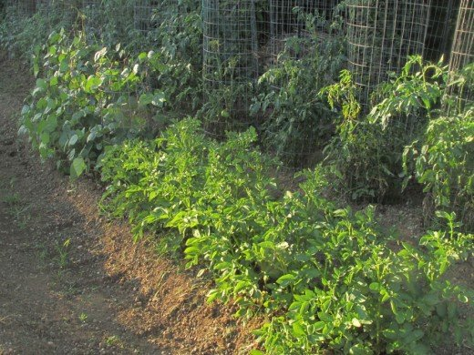 In the foreground is my first attempt to grow Russet Potatoes and they seem to being doing quite well, green beans are to the left and tomatoes behind them.