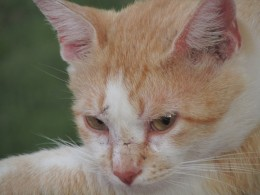 Nibs, short for Nibiru, is a fighter as his face clearly shows the trophies of many battles.