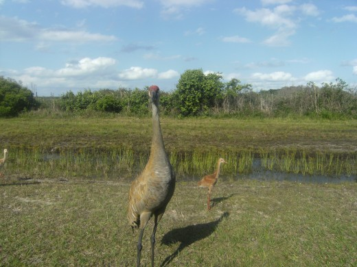 Mama and baby Sandhill Cranes