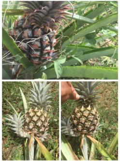 The Captain's Pineapples