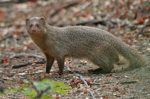 Indian Gray Mongoose By J.M. Garg CC BY-SA 3.0