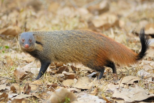 Striped Necked Mongoose By Yathis sk CC BY-SA 3.0
