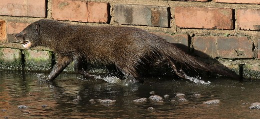 Water Mongoose By Derek Keatr CC BY-SA 2.0