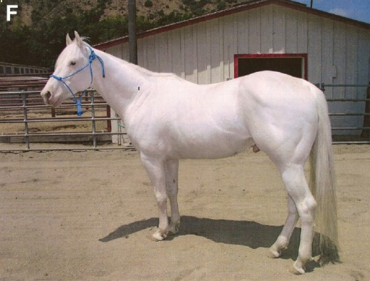 American Albino Horse By Haase B. Brooks CC BY-SA 2.0