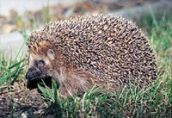 Hey, it's a hedgehog!