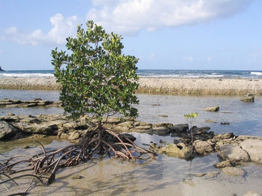 A mangrove with prop roots in Queensland