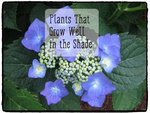 Lace-cap Hydrangea grow well in shade and filtered sunlight.