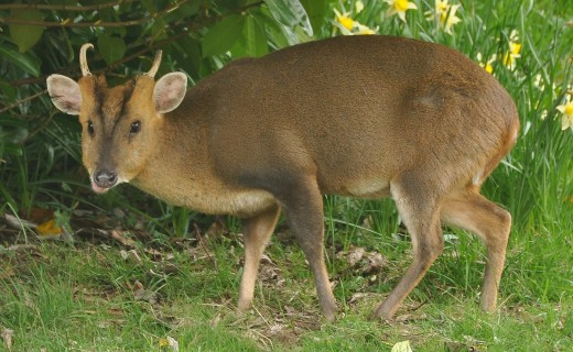 Reeve's Munjac Deer By Nilfaorion BB BY-SA 3.0