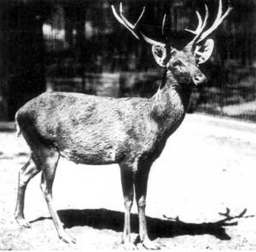 Schomburghs Deer Berlin1911 By Lothar Schtave Public Domain