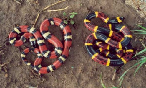"A King Snake and a Coral Snake side by side. ""Red touches yellow, kill a fellow!"""