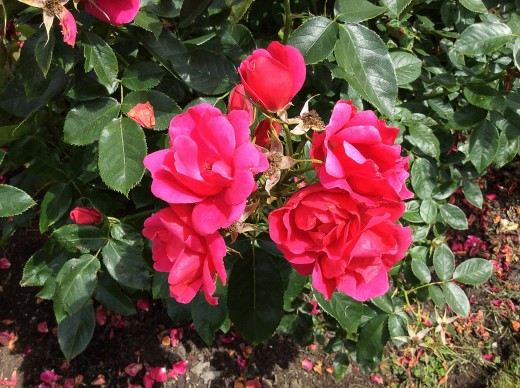 Roses are such beautiful flowers.