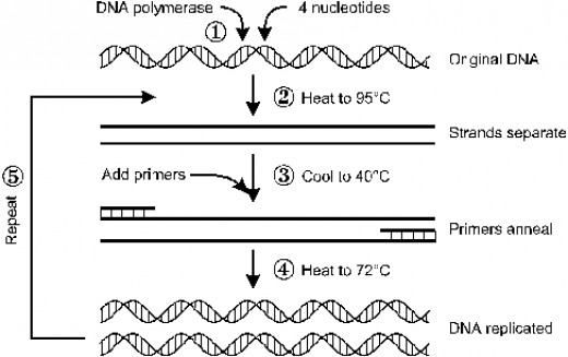 PCR stages