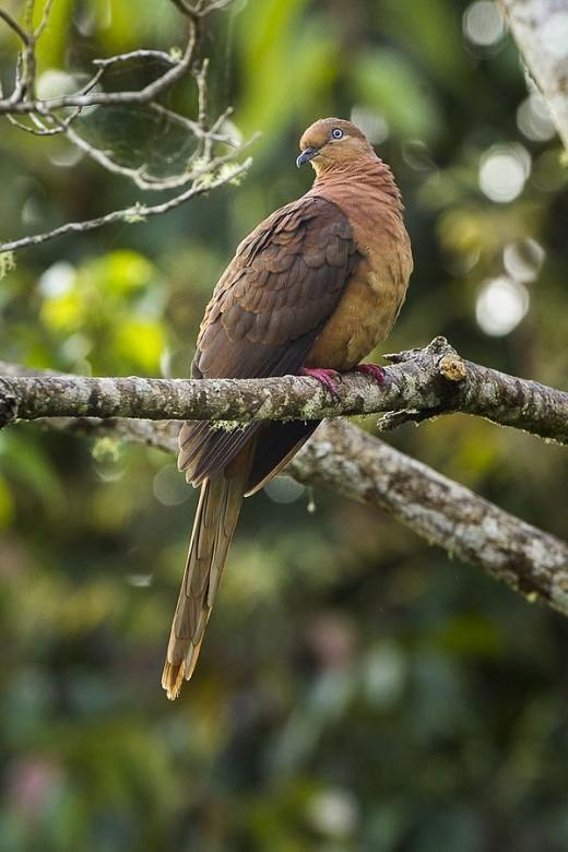 Brown Cuckoo Dove By Francisco Vernonesi CC BY-SA 2.0