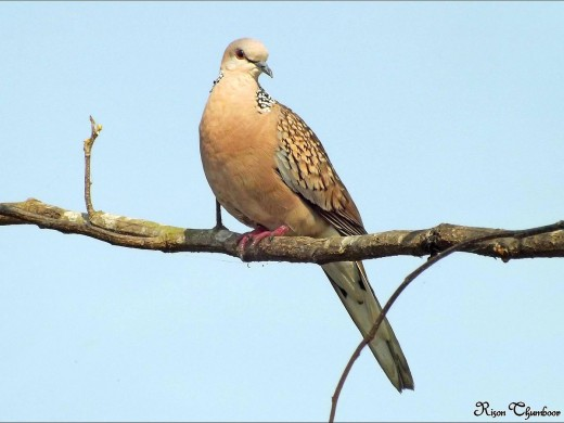 Spotted Dove By Rison Thurnboor CC BY-SA 4.0
