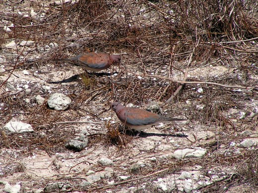 Laughing Doves By D. Gordon E Robertson CC BY-SA 3.0