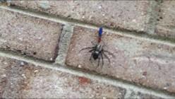 Tarantula Hawk Killing a Wolf Spider in My Backyard?