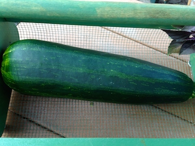 If your zucchini gets too big to carry from the garden, consider moving.