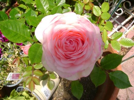 Paul Baucus Rose