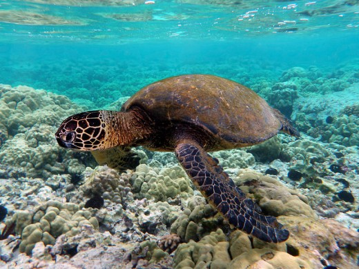 Green Turtle By Brocken Inaglory CC BY-SA 3.0