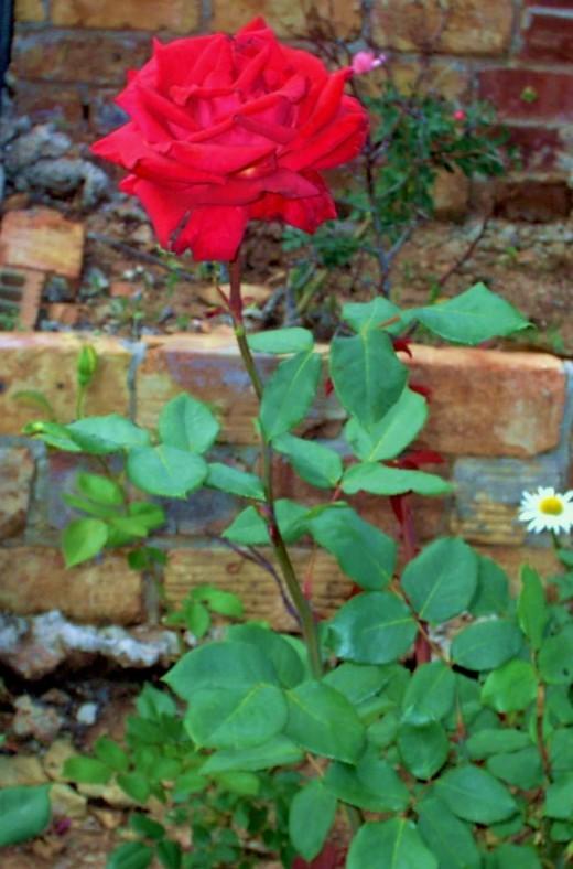 Beautiful Roses....