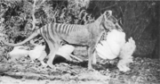 This 1921 photo by Henry Burrell of a Thylacine with a chicken was widely distributed and may have helped secure the animal's reputation as a poultry thief. In fact the image is cropped to hide the fenced run and housing, and analysis by one research