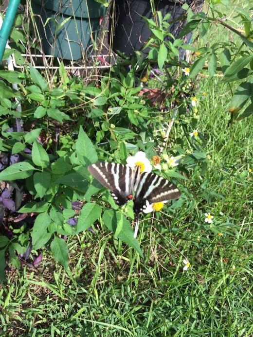 Zebra Butterfly on Wildflower