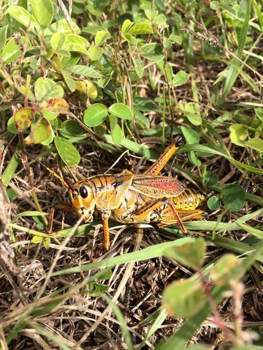 Eastern Lubber Grasshopper AKA:Florida's Giant Orange Grasshopper