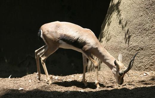 Speke's Gazelle By en User Cburnett GNU 1.2