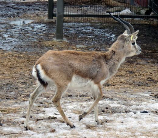Goitered Gazelle By kallerna Public Domain