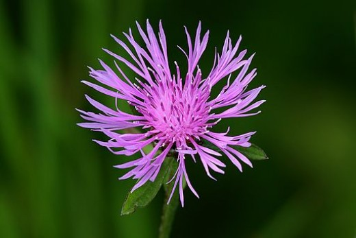 Spotted knapweed, a non-native invasive, which can crowd out desirable plants.