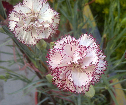 An example of a hybrid carnation.