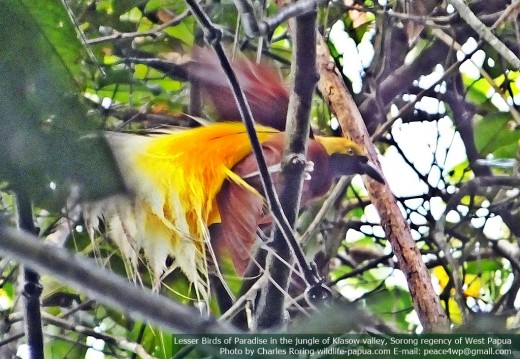 a Male Lesser Birds of Paradise (Paradisaea minor) was flapping his wings.