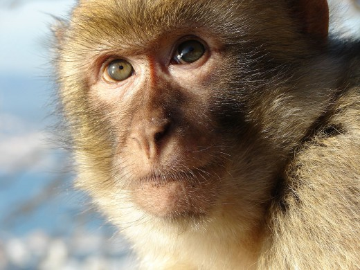 Barbary Macaque By RedCoat CC BY-SA 2.5