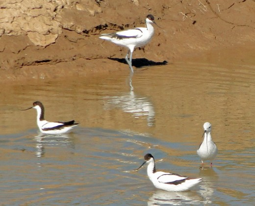 Avocet and Black-winged Stilt
