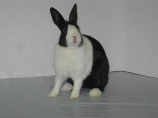 One of Shannon's Dutch bunnies.