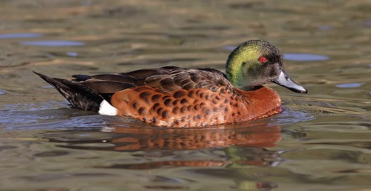 Male Chestnut Teal Duck By Fir0002/D;a[taffptps