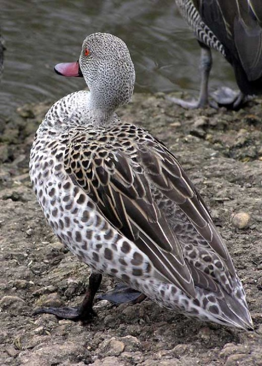 Cape Teal Duck By Arpingstone Public Domain