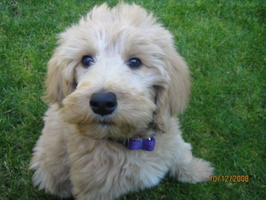 goldendoodle. Ruby: Goldendoodle puppy