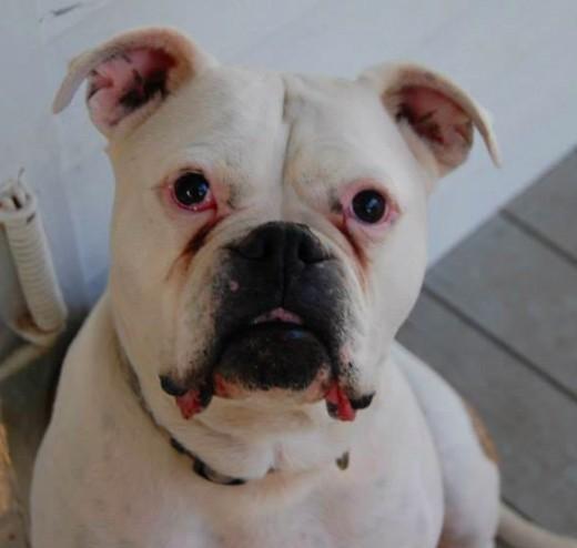 Molly - American Bulldog