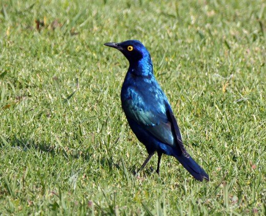 Cape glossy starling Lamprotornis nitens. Photo: Matt Feierabend